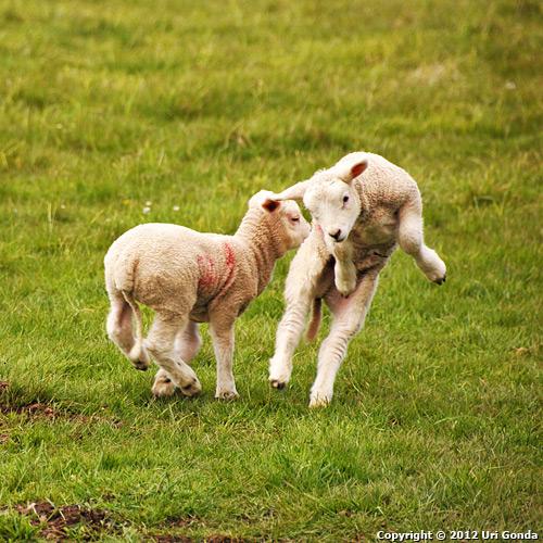 הדור הבא של הכבשים הסקוטיות משחק באחו, לא רחוק מבְרֶיימָר (Braemar).